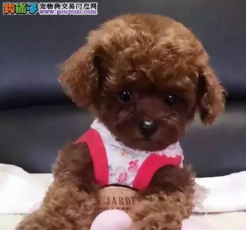 赛级品相泰迪犬幼犬低价出售诚信信誉为本2