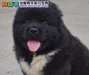 杭州繁育基地直销高品质高加索犬购买可签订活体