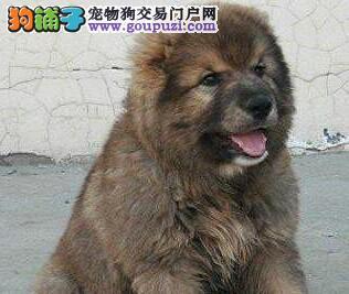 南昌狗场出售狼青色熊版品质的高加索犬、疫苗驱虫齐全