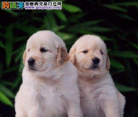 金毛幼犬出售中、公母都有纯种健康、等您接它回家3
