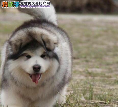 深圳售纯种阿拉犬阿拉斯加犬 大阿 阿拉斯加雪橇犬