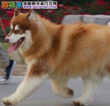 大骨架福州阿拉斯加雪橇犬犬舍直销品种纯面相好