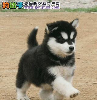 CKU犬舍认证出售高品质阿拉斯加犬国际血统证书2