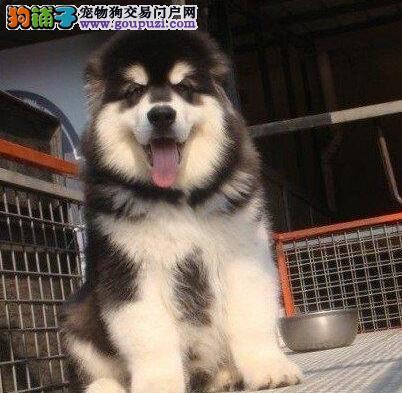 CKU犬舍认证出售高品质阿拉斯加犬国际血统证书4