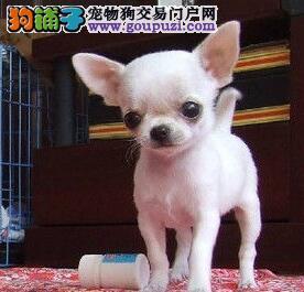 放在口袋中的宠物狗狗吉娃娃宝宝