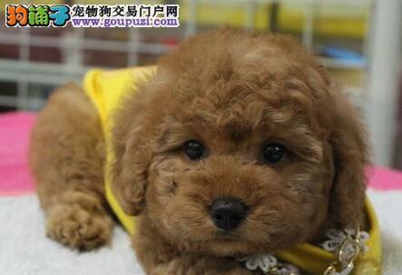 杭州售精品泰迪卷毛犬泰迪熊宝宝疫苗驱虫已做包运费