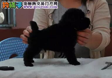 公母均有的多只泰迪犬找爸爸妈妈 郑州周边免费送货2