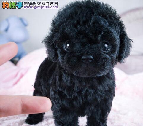 太原市出售泰迪犬幼犬 全国包邮协议质保 带证书可刷卡