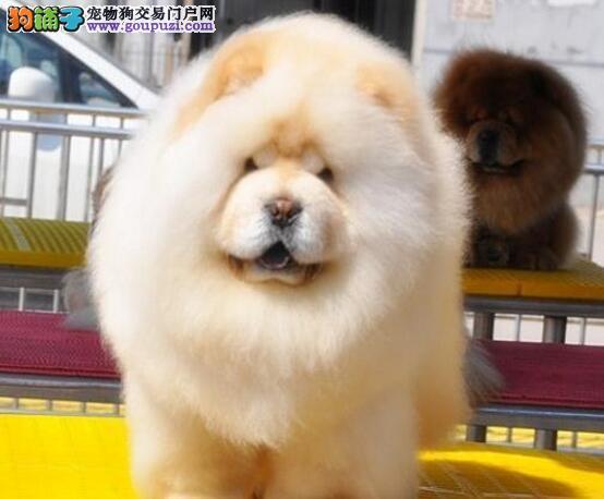 极品松狮出售、一宠一证证件齐全、购犬可签协议
