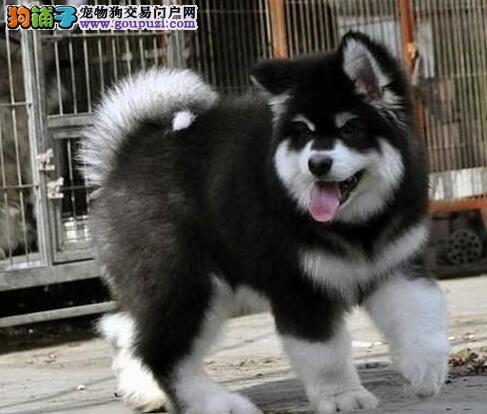 上海售精品阿拉斯加幼犬 大阿 阿拉疫苗驱虫已做包邮图片
