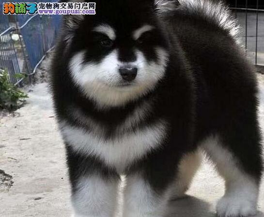 广州哪里有正规狗场出售赛级阿拉斯加幼犬 黑十字架脸