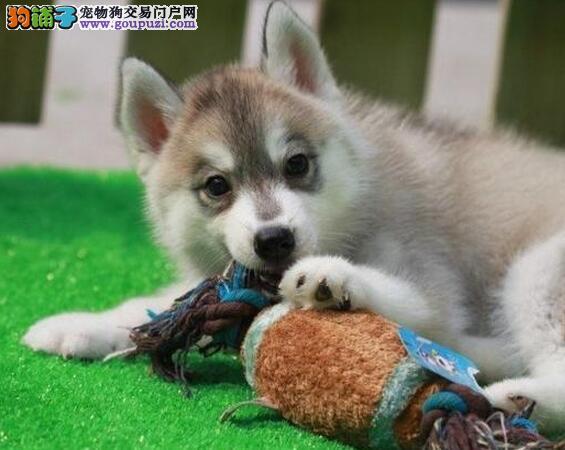 双蓝三把火的太原哈士奇幼犬找新家 专车接送看狗2