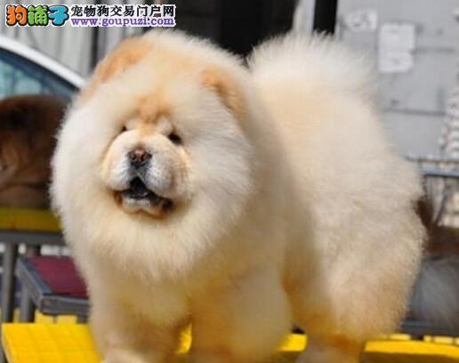 转让 低价出售松狮幼犬图片