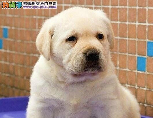拉布拉多犬患上感冒应该如何医治