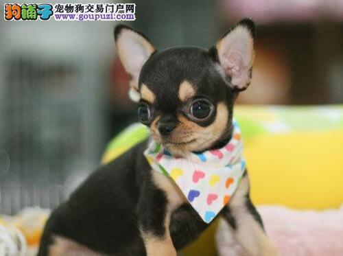 汕头狗场出售体型较小活泼可爱的吉娃娃幼犬 欲购从速