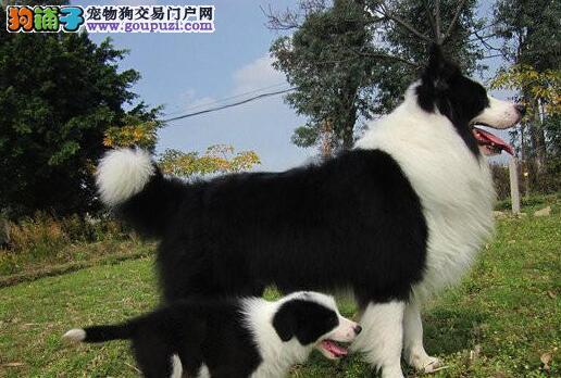 边境牧羊犬缩略图