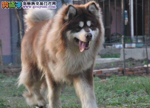 基地出售好品质烟台阿拉斯加雪橇犬保证售后签合同
