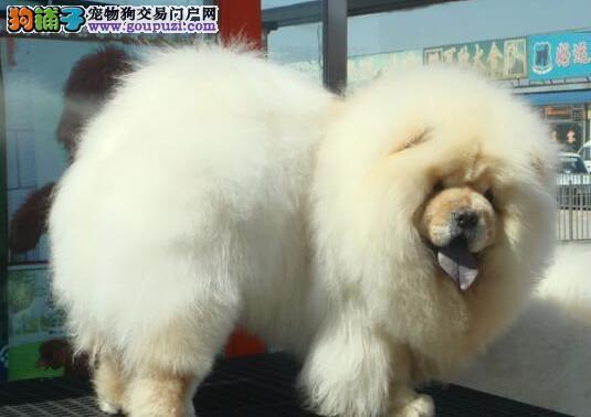 南昌繁殖基地出售精品松狮犬 签订终身质保协议书