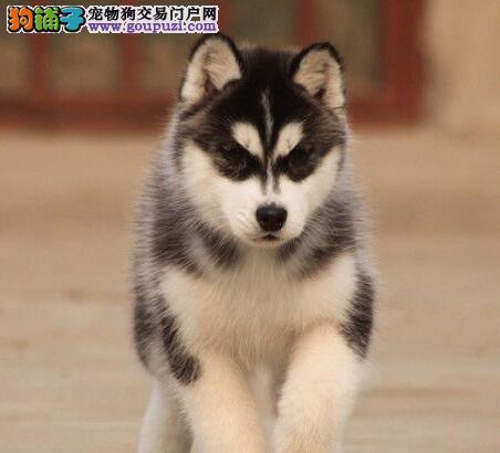 出售蓝宝石眼睛三把火的南昌哈士奇犬 欢迎上门选购