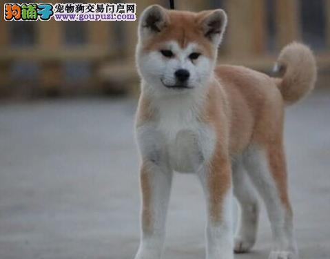 百变养犬 饲养秋田犬的时的喜怒哀乐
