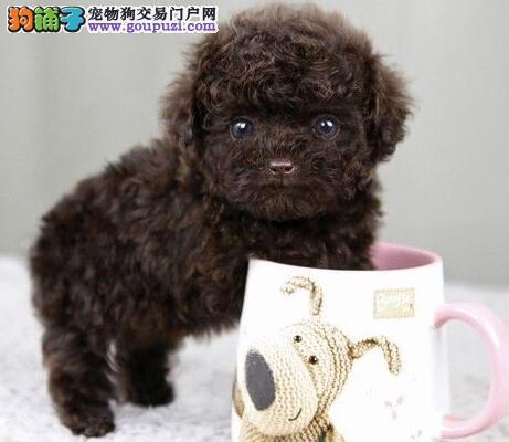 出售赛级泰迪犬 品相血统一级棒 寻找它的主人2