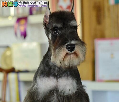 南京精品雪纳瑞幼犬出售 送用品签协议包养活2