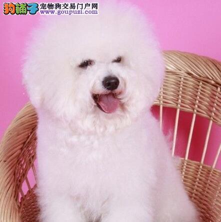上饶知名犬舍出售多只赛级比熊国际血统证书