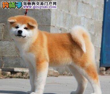 日常生活如何管教秋田犬不会影响到周围邻居的生活