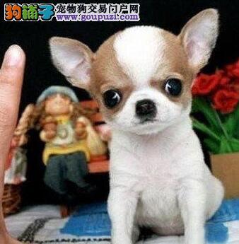 袖珍吉娃娃犬 真正的小体型吉娃娃-吉娃娃幼犬
