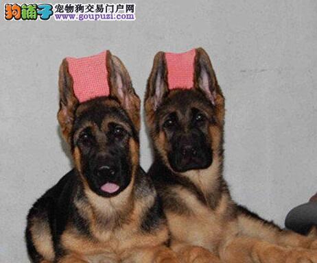 顶级优秀的纯种德国牧羊犬南京热卖中喜欢的别错过