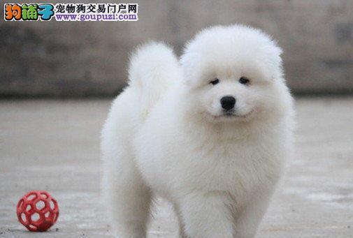 微笑天使品相的南宁萨摩耶幼犬找新主人 非诚勿扰