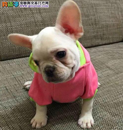 南宁实体狗场出售大鼻筋的斗牛犬 签订购犬协议书