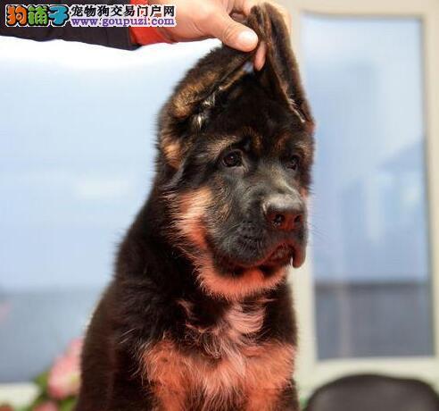 广州诚信犬舍纯种德牧幼犬包健康半年包养活送用品