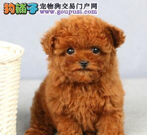 家养泰迪犬出售 一宠一证证件齐全 质保全国送货