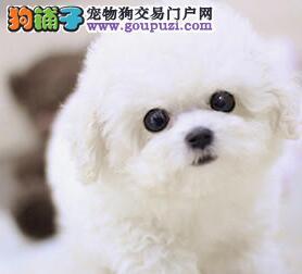 乌鲁木齐出售高品质法国卷毛比熊犬 正规犬舍签协议