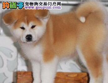 高品质日系昆明秋田犬找爸爸妈妈 血统纯正 健康质保