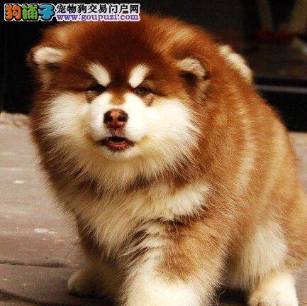 南京哪里出售阿拉斯加雪橇犬 十字脸大骨骼阿拉斯加1