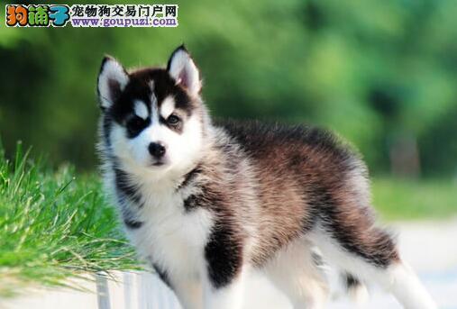 出售纯种三把火哈士奇 上海地区最大犬舍繁殖低价直销