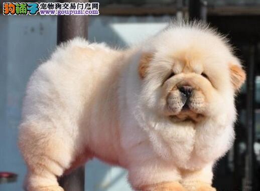 极品紫舌松狮犬低价转让 可上门考察重庆地区有实体店