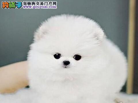 银川出售俊介犬博美幼犬哈多利球版 女神的最佳选择
