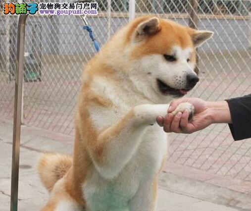 武汉售高端宠物狗日本秋田犬 性格温顺 赛级犬后代