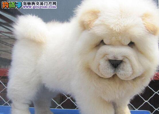 极品美系松狮犬幼犬三个月小松狮待售中终身保障送用品