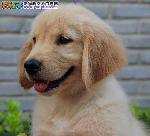 纯种,漂亮,可爱,活泼,善解人意,金毛巡回猎犬出售