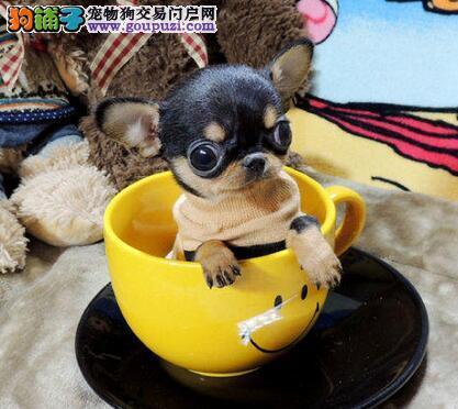 专业缔造优质大连吉娃娃犬 体型娇小可爱 欲购从速