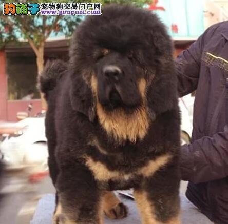 欢迎购买血统纯正的原生态藏獒 福州附近可送狗到家