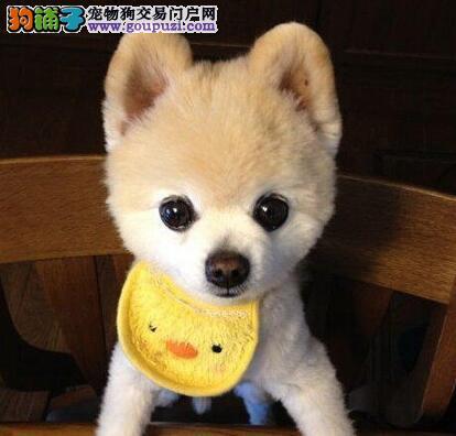 出售纯种博美犬 活泼可爱 终身售后 包纯种健康 签协议