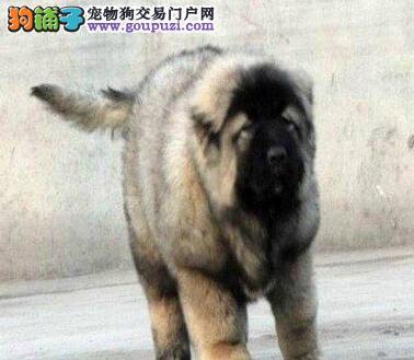 南通CKU认证的犬舍直销高加索犬 可刷卡可送货签协议