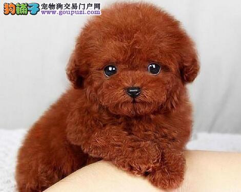 烟台养殖场出售深红色的泰迪犬 建议大家上门看狗选择4