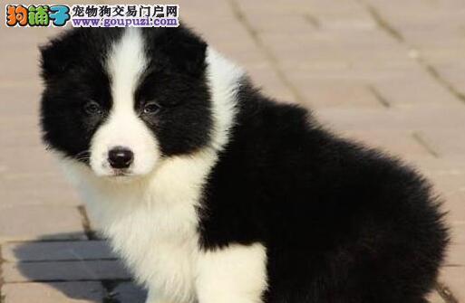 专业基地繁殖超可爱保健康边境幼犬出售!