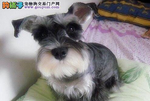 纯种可爱的太原雪纳瑞幼犬找新家 签订售后协议书2